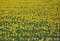 Pré fleuri avec les tournesols jaunes photographie stock