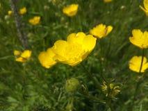 Pré, herbe, fleur, beauté, florale, vue, jaune, non cultivé, pâturage, herbe Photo stock