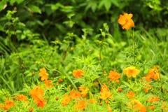 Pré jaune de fleur photos libres de droits