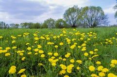 Pré jaune de fleur de ressort - pissenlit commun image stock