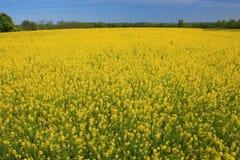Pré jaune en été ou source photo stock