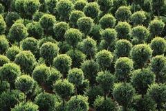 Pré ornemental des arbustes ronds Image libre de droits