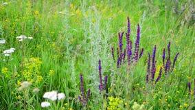 Pré sauvage avec des fleurs de Salvia Superba dans l'été banque de vidéos