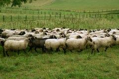 Pré vert avec la bande de moutons et de chèvres Photographie stock libre de droits
