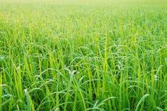 Pré vert avec la rosée de matin sur l'herbe image stock