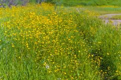 Pré vert avec les renoncules jaunes Paysage d'ÉTÉ Image stock