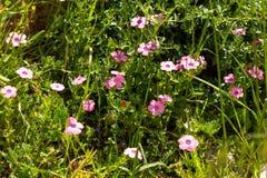 Pré vert de ressort avec les fleurs roses Photo stock
