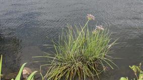 Précipitation fleurissante (umbellatus de Butomus) dans la fleur sur la rivière de Havel (Brandebourg Allemagne) banque de vidéos