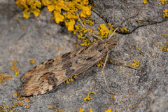 Précipitez le placage (noctuella de Nomophila), une mite micro dans la famille Crambidae Images stock