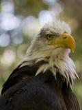 Prédateur à ailes Photos libres de droits
