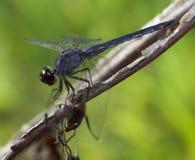 Prédateur d'insecte Images libres de droits