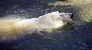 Prédateur d'ours blanc les cheveux mammifères arctiques Photos libres de droits