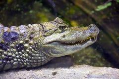 prédateur de coquille de caïman de reptile d'alligator dans des narines de mâchoire de l'Amérique du Sud photo libre de droits