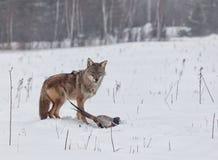 Coyote avec le faisan Photo stock