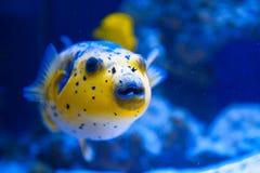 Prédateur jaune de poissons de fugue de la Mer Rouge Image libre de droits