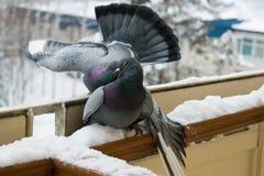 Préliminaires et pigeons de baisers en hiver sur le balcon Photographie stock