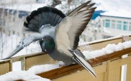 Préliminaires et pigeons de baisers en hiver sur le balcon Photos libres de droits