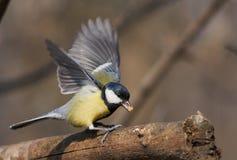 A préparé pour voler loin ou un petit oiseau alimentant sur une branche photographie stock libre de droits