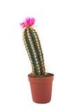 Préparation de cactus Image stock