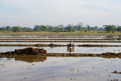 Préparation du sol pour la rizière Image stock