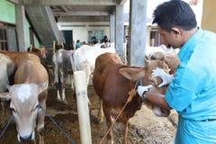 Préparation pour Eid al-Adha en Indonésie photos stock