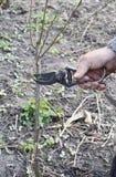 Préparer la branche de pommier pour greffer avec le couteau Greffant les arbres fruitiers point par point Greffe des arbres image libre de droits
