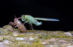 Préparez à la mouche de la cigale après du bouclier Photographie stock