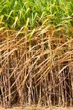 Préparez le gisement de canne à sucre Photos libres de droits
