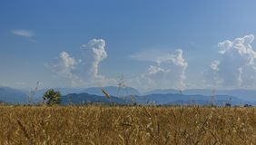 Préparez pour moissonner le blé contre le contexte du beau mountai Photos libres de droits