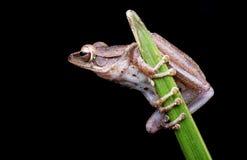 Préparez pour sauter la grenouille Images stock