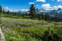 Prés de Wildflower et chaîne de Tatoosh Photographie stock libre de droits