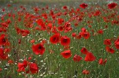 Prés rouges d'herbe Photo stock