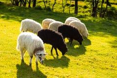 Prés verts avec des moutons frôlant dans un beau secteur, noir et Images libres de droits