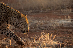 Présentez le léopard Images stock