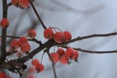 Présures de pommes sur la pomme en hiver Photographie stock libre de droits