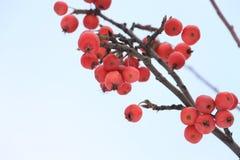 Présures de pommes sur la pomme en hiver Images libres de droits