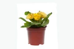 Prímula amarilla en maceta Imagen de archivo libre de regalías