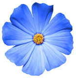 Prímula azul de la flor aislada imagen de archivo libre de regalías
