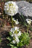Prímula brilhante da flor branca Fotografia de Stock Royalty Free