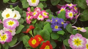 Prímula colorida das flores Foto de Stock Royalty Free