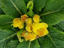 Prímula, com as flores amarelas pequenas no centro das folhas verdes Imagens de Stock