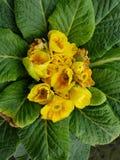 Prímula, com as flores amarelas pequenas no centro das folhas verdes Foto de Stock Royalty Free