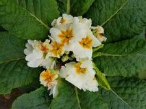 Prímula, com as flores brancas pequenas no centro das folhas verdes Imagem de Stock Royalty Free
