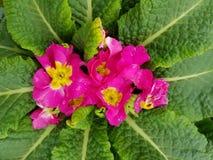 Prímula, com as flores cor-de-rosa pequenas no centro das folhas verdes Imagens de Stock