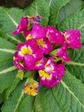Prímula, com as flores cor-de-rosa pequenas no centro das folhas verdes Imagens de Stock Royalty Free