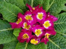 Prímula, com as flores cor-de-rosa pequenas no centro das folhas verdes Fotografia de Stock Royalty Free