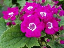 Prímula, com as flores roxas pequenas no centro das folhas verdes Fotografia de Stock Royalty Free