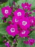 Prímula, com as flores roxas pequenas no centro das folhas verdes Imagem de Stock