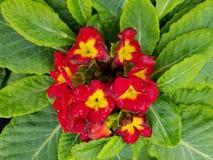Prímula, com as flores vermelhas pequenas no centro das folhas verdes Fotos de Stock Royalty Free