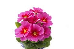 Prímula cor-de-rosa Foto de Stock